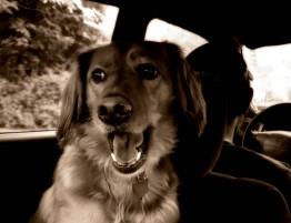 Viajar con perros y otras mascotas en el coche